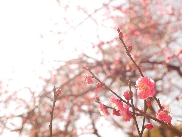 北野天満宮で春を先取り!学問の神様・菅原道真公も愛した梅を満喫